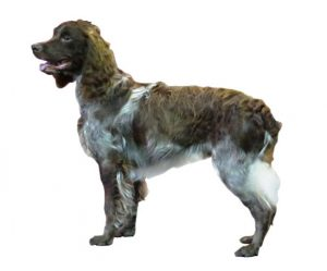 common cocker spaniel