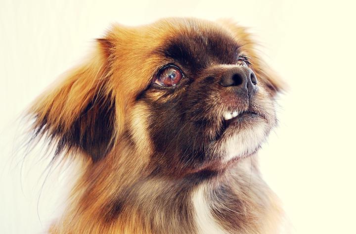 Epagneul Tibetain Tout Savoir Sur Cette Race Dogsplanet Com