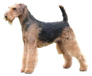 airedale terrier look