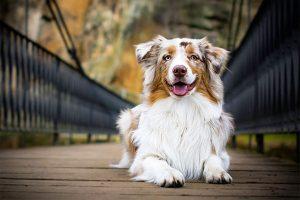 australian sheepdog