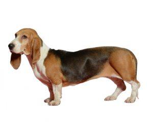 Normandy artesian basset hound