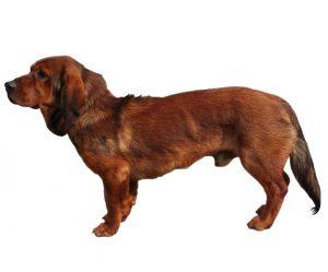 Alpine basset hound