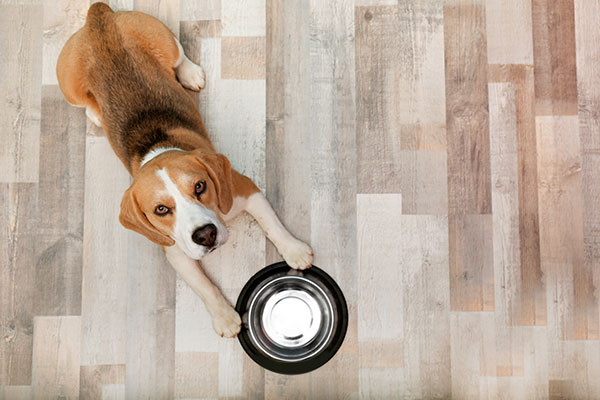 Beagle qui attend de manger