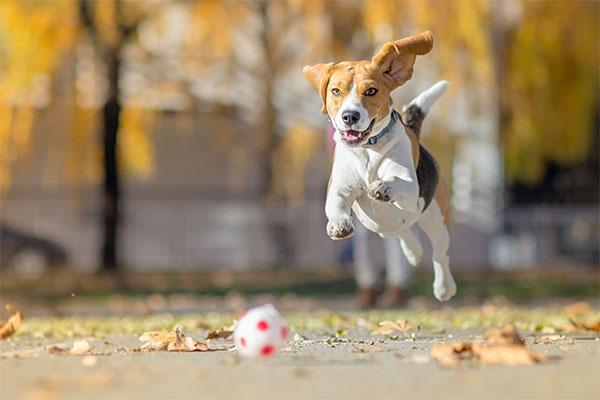 Beagle qui joue au ballon