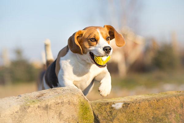 beagle qui joue à la balle