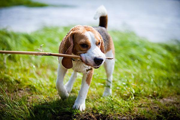 beagle avec un bâton