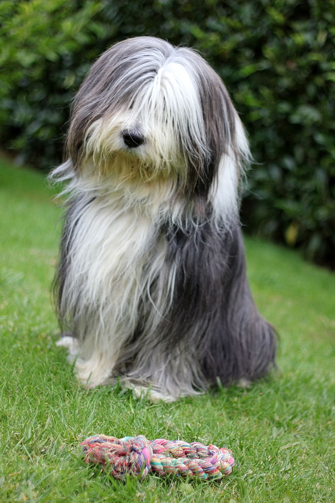 bearded collie personnalité