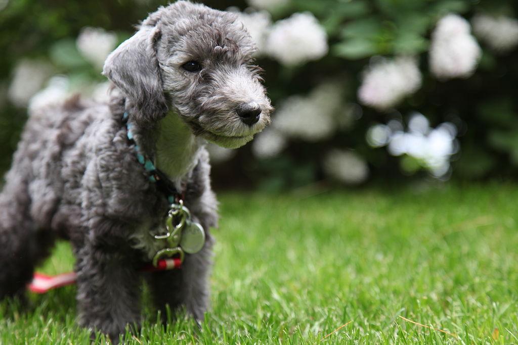 bedlington terrier personnalité