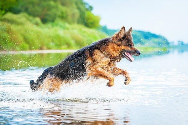 berger allemand dans l'eau