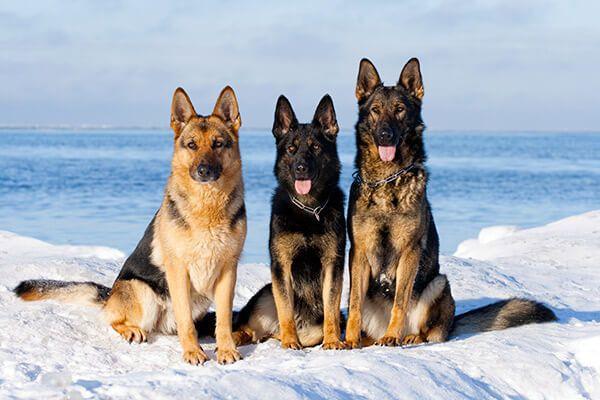 3 bergers allemands