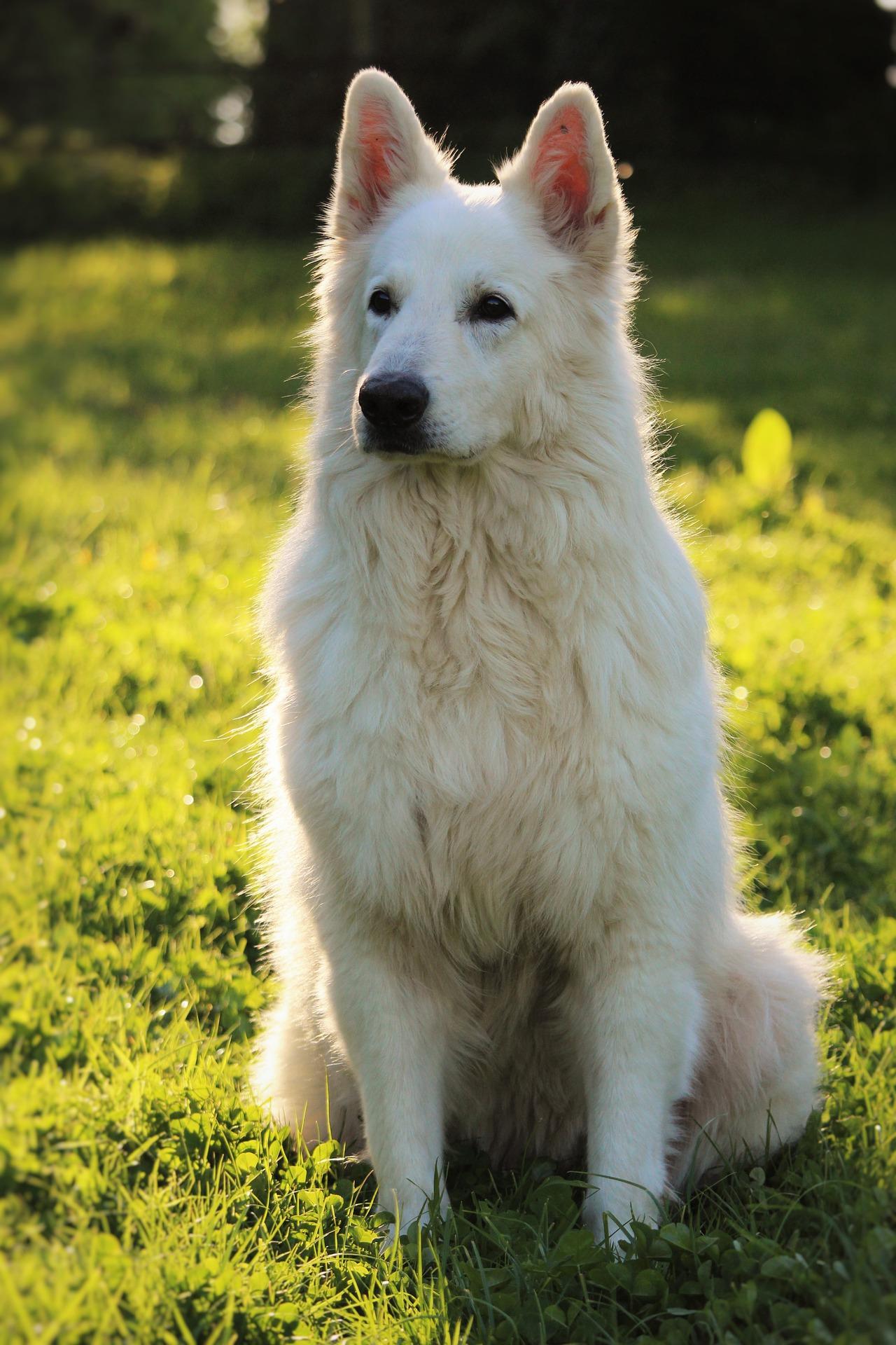 berger blanc suisse personnalité