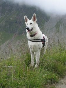 berger blanc suisse photo