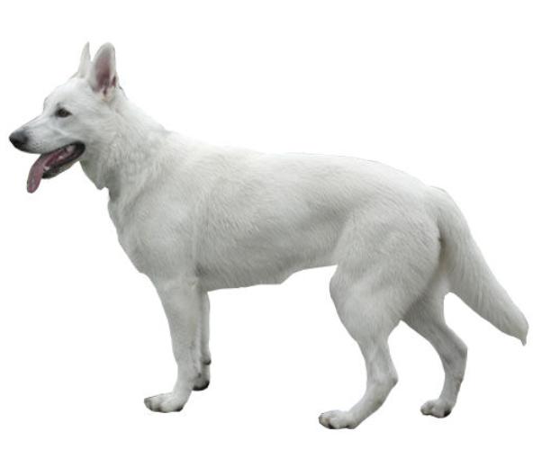 Berger Blanc Suisse Tout Savoir Sur Cette Race Dogsplanet Com