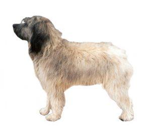 Catalan shepherd