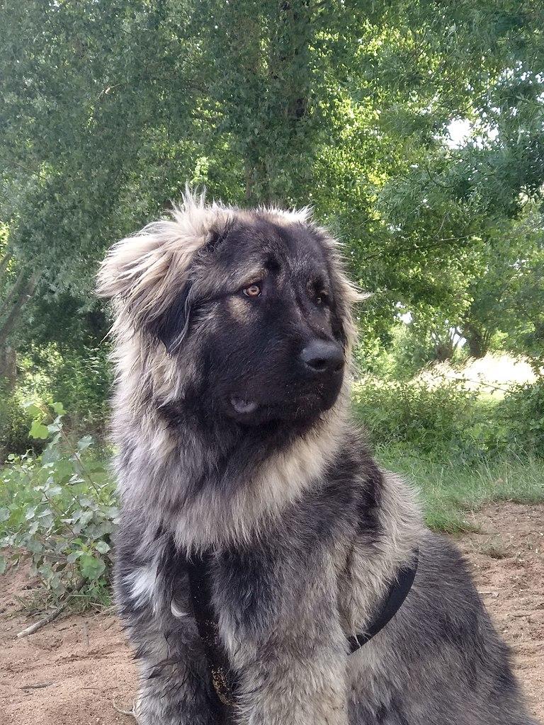 berger du caucase personnalité
