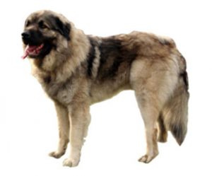 Yugoslav shepherd
