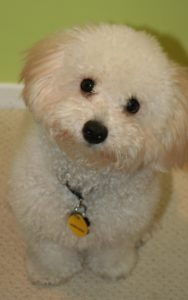 bichon bolognese photo 3