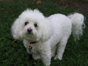 bichon frise photo 3