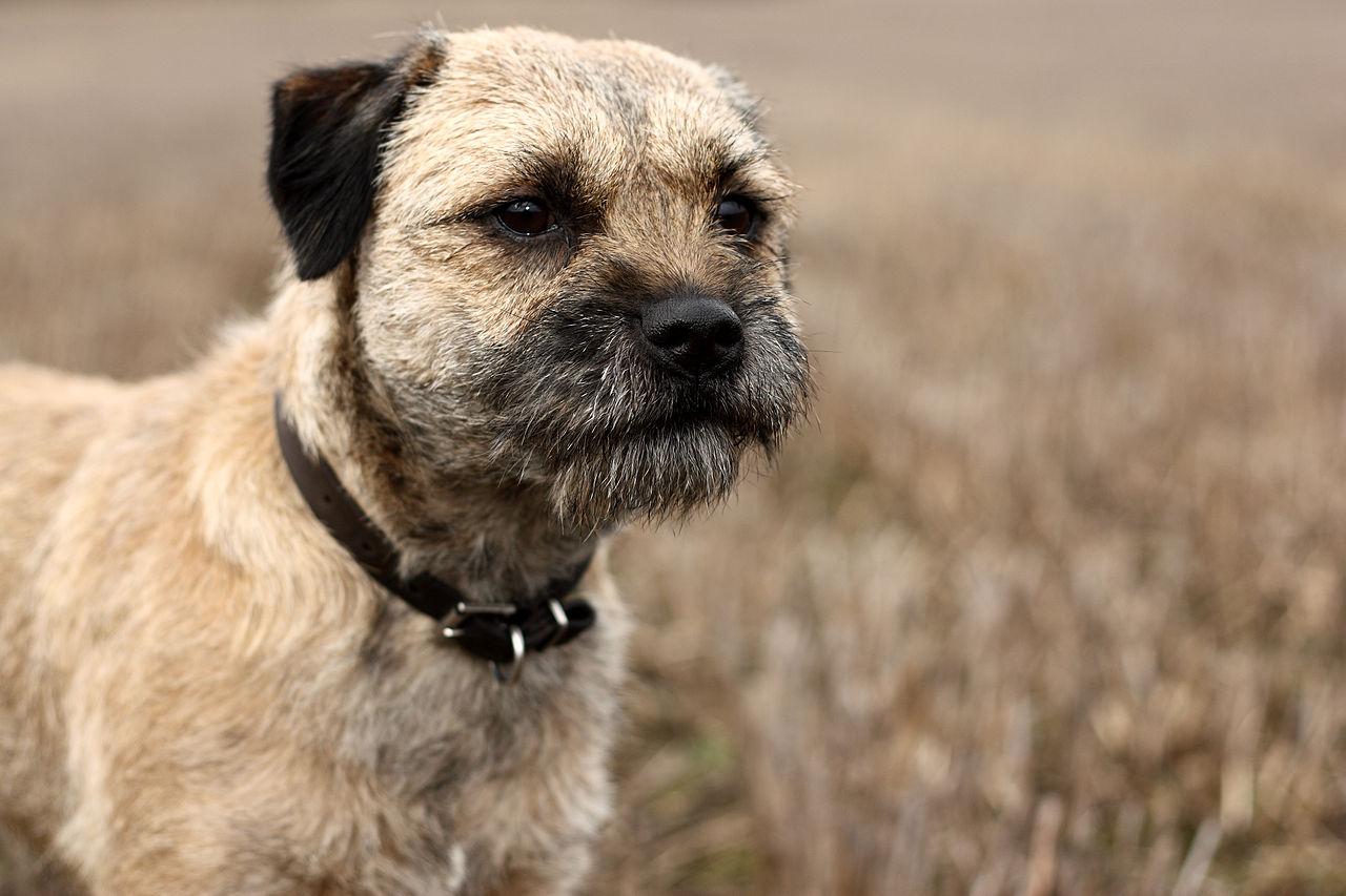 border terrier personnalité