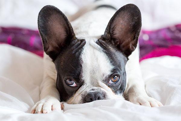 bouledogue français sur le lit