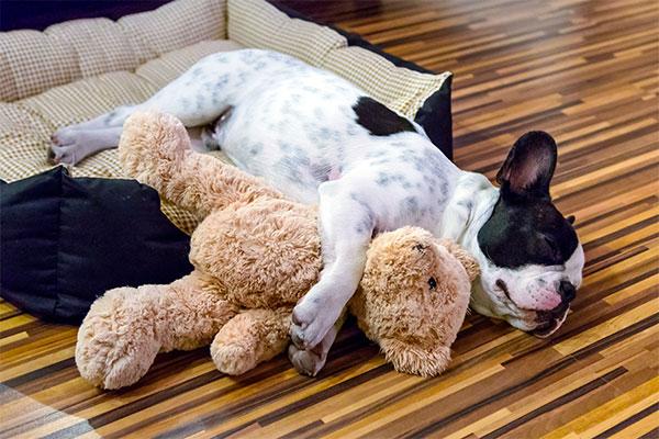 bouledogue français qui dort avec son toutou