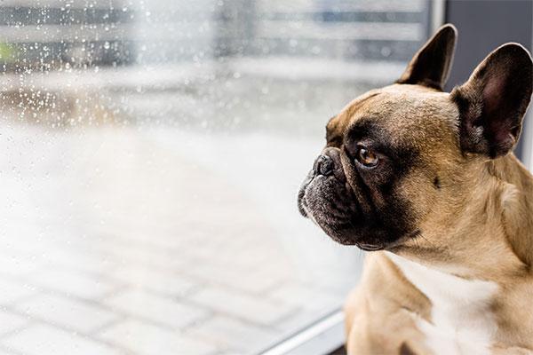 bouledogue français qui regarde par la fenêtre