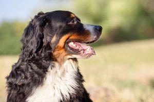 Bernese Mountain Dog in profile