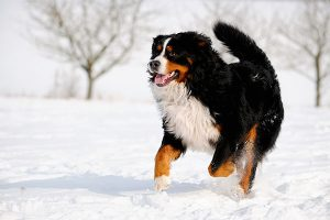 Bernese mountain dog in the snow