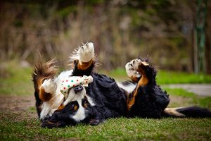 Bernese mountain dog on his back playing