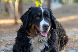 recumbent Bernese Mountain Dog