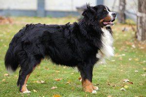 standing Bernese Mountain Dog