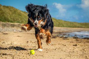 Bernese mountain dog playing ball