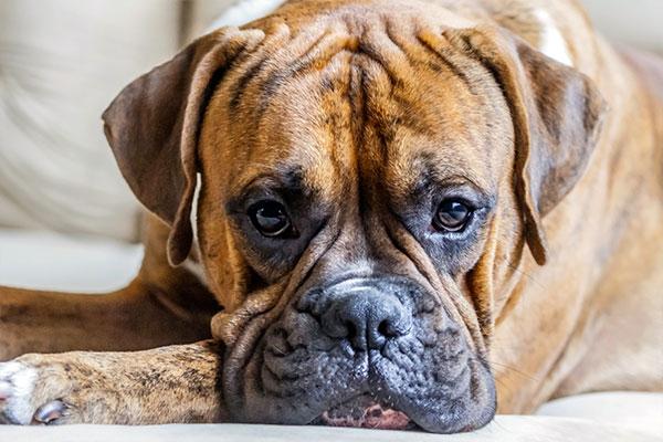 face du chien boxer