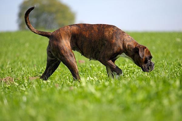 chien boxer dans le champs