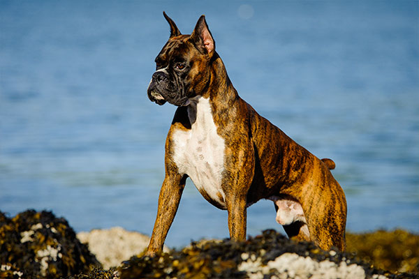chien boxer sur le bord de l'eau