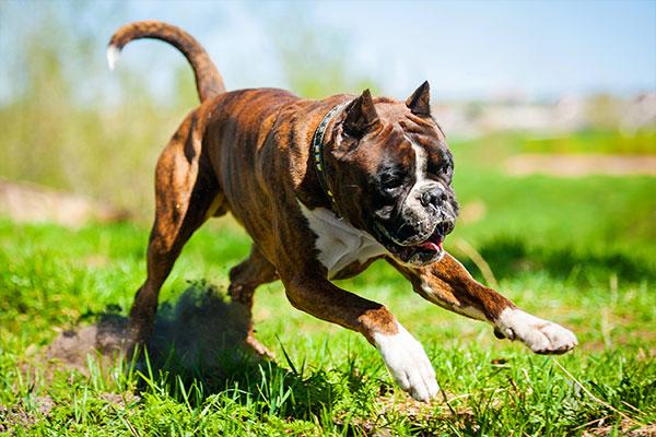 chien boxer qui cours