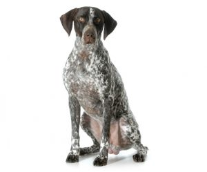 wirehaired german pointer