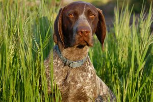 German Shorthaired Pointer in the grass
