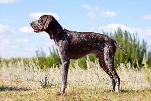 La postura del perro de caza alemán de pelo corto