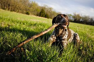 German Shorthaired Pointer with his stick