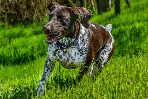 German Shorthaired Pointer in action