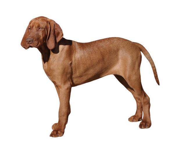 Braque Hongrois A Poil Court Tout Savoir Sur Cette Race Dogsplanet Com