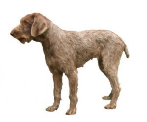 wirehaired Slovak braque