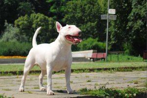 bull terrier photo 4
