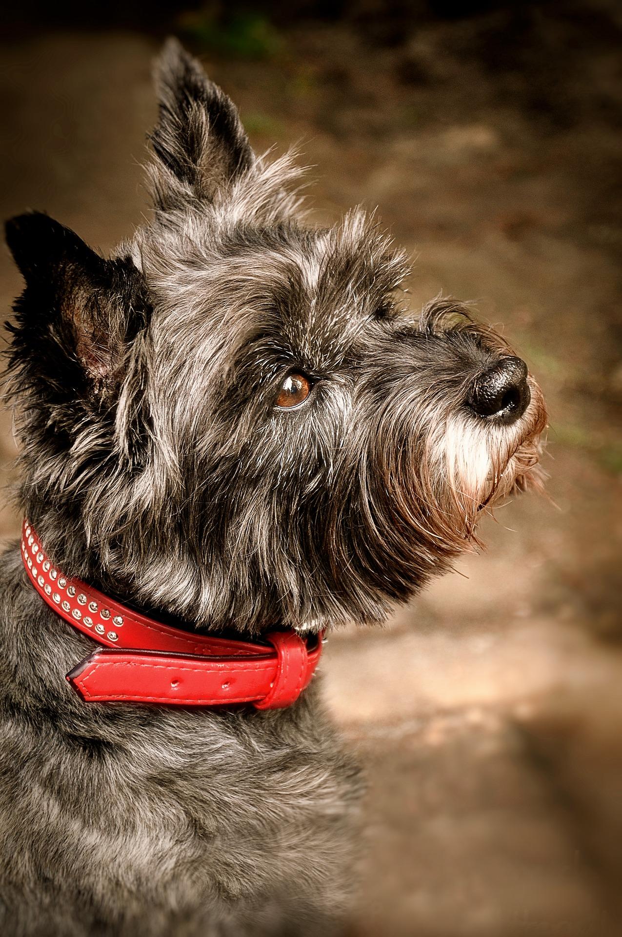 cairn terrier personnalité