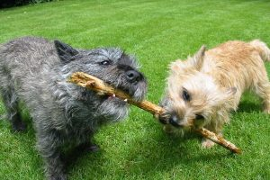 cairn terrier photo 2