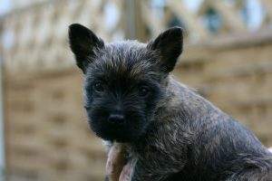 cairn terrier photo 3
