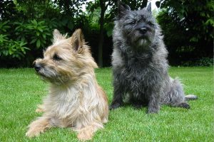 cairn terrier picture