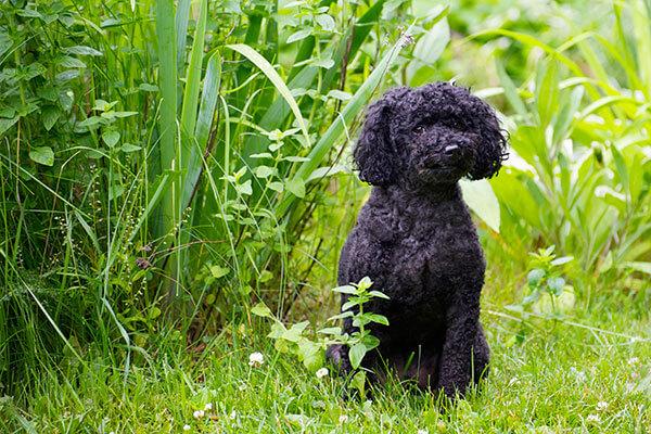 caniche dans l'herbe