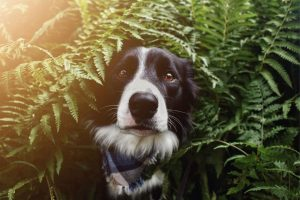 caracter border collie